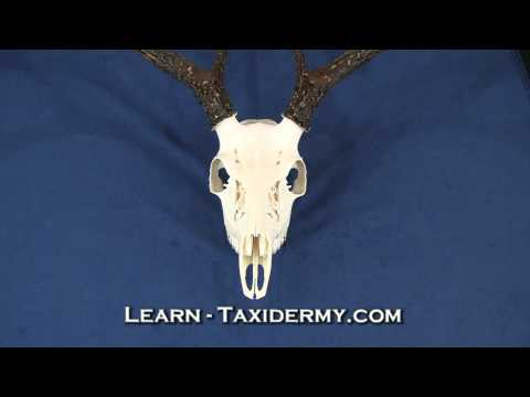 Taxidermy Class for European and Rack Mounts