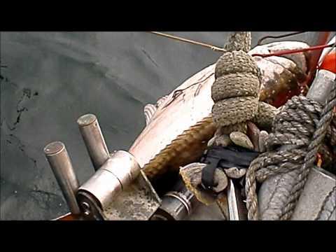 350 Pound Halibut Caught Longlining