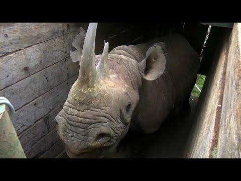 Kenia: Neues Heimat für Spitzmaulnashörner