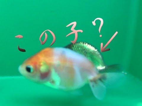 金魚 江戸錦 飼育1