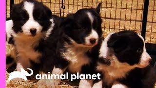 Baby Border Collies Start Learning To Herd   Too Cute! by Animal Planet