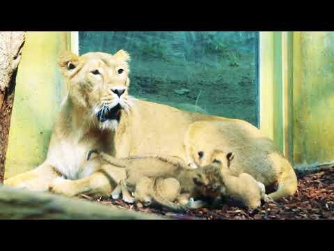 Zoo Frankfurt - Löwen-Drillinge - so süß ist der Löwen-Nachwuchs