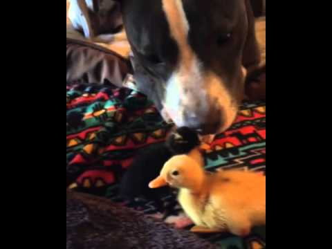 Pitbull & Ducklings Are Best Friends!