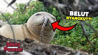 Video Gimana Nafasnya? Hidung Anjing Laut Ini Tersangkut Belut MP3, 3GP, MP4, WEBM, AVI, FLV Maret 2019
