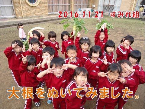 八幡保育園(福井市)すみれ組(3歳児年少)がみんなで大根を収穫!発表会ではこの体験を劇で披露します!
