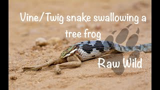 Vine snake eating huge frog - Kruger National Park by Raw Wild