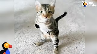 Cat With Short Front Legs Never Lets That Hold Him Back | The Dodo by The Dodo