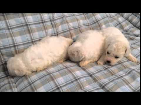 Bichon Frise Puppies - 3 boys