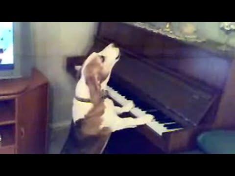 il cane musicista che canta e suona il piano perfettamente a tempo