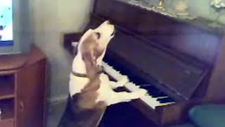 Dog Plays Piano And Sings :))