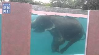 【静岡】象だってプール好き!