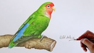 Love Bird - Drawing A Love Bird With Colored Pencils  Drawn by using Prismacolor Premiere colored pencils .Time Lapse Drawing.Time taken around 2.00 hours.Background Music : You Like It by Vibe Tracks.If you like my video please don't forget to subscribe.Thanks for watching.