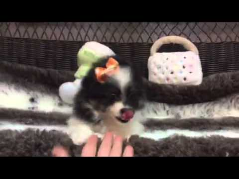 Tiny & Affectionate, Adorable Female Toy Aussie!