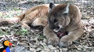 LIVE: Cougar Feeding: Big Cats Get An Icy Snack at Big Cat Rescue | The Dodo by The Dodo