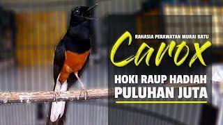 Video KISAH SUKSES : H. Ridwan Setting MURAI BATU CAROX  Lomba Bisa Raup PULUHAN JUTA! MP3, 3GP, MP4, WEBM, AVI, FLV April 2019