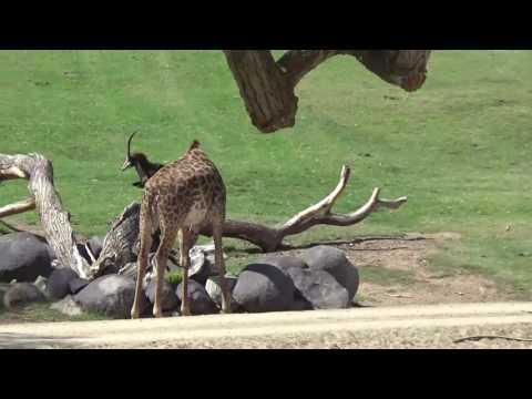 San Diego/USA: San Diego Zoo Safari Park - African Tram ...