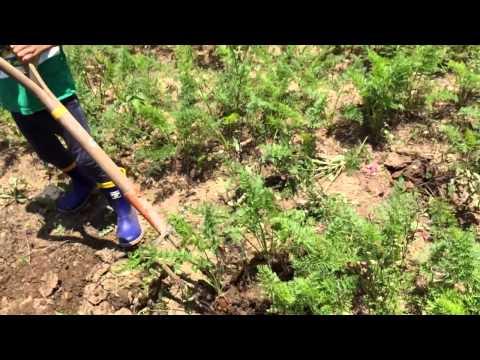 子どもも楽しい土いじり 自然栽培の人参収穫 ちーとー