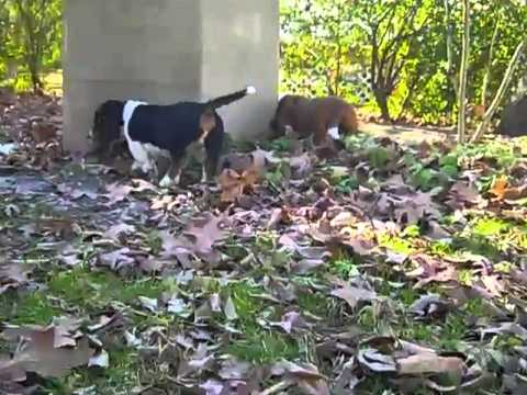 basset hound male puppy 112812k