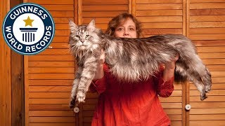 Meet The Record Breakers - 'Stewie', The World's Longest Domestic Cat