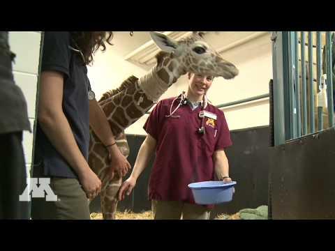 Baby giraffe bekommt neue Chance