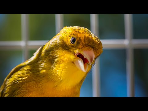 Canary - for people that like Timbrado canaries songs.