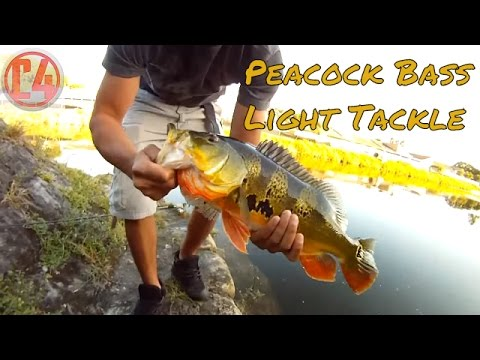 Light Tackle Peacock Bass Fishing