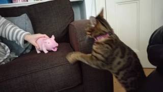 Usually reserved for dogs, This Bengal loves the annoying pig!