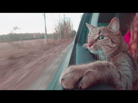 Cat in Car - like a Dog (official Video)