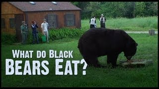 Video What do Black Bears Eat? MP3, 3GP, MP4, WEBM, AVI, FLV Agustus 2017