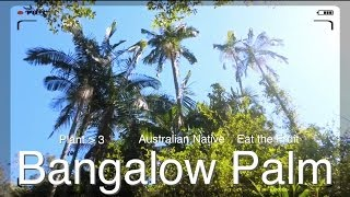 Bangalow Australia  city pictures gallery : Bangalow Palm or King Palm - Eat the Fruit of this Australian Native