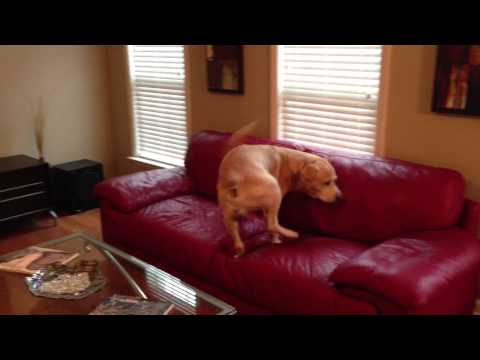 Clever dog finds hidden treats around the house