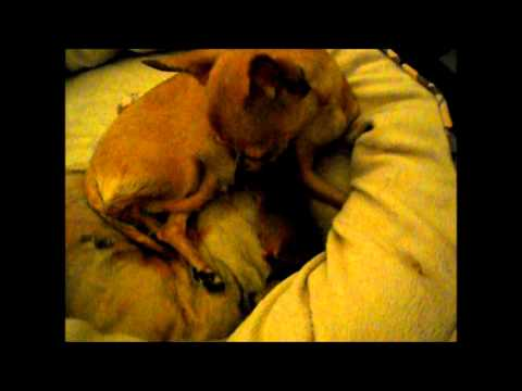 Chihuahua Sophie gave birth to a baby boy