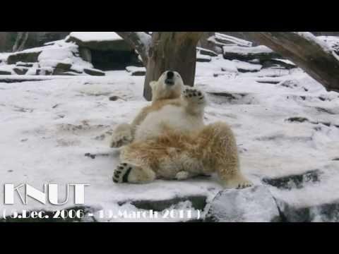 Polar Bear Knut is dead - R.I.P. - Eisbär Knut ist tot ....! (L|E) (видео)