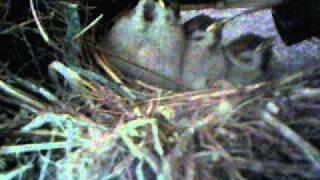 Matsumae Japan  city photos : Sparrow's nest, Matsumae, Japan, Part 66 スズメの巣作りと子育て 北海道松前町