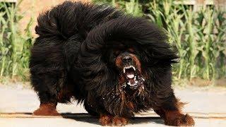 Video Most ILLEGAL Dog Breeds In The World! MP3, 3GP, MP4, WEBM, AVI, FLV Juli 2018