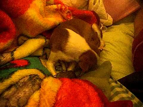 Chihuahua giving birth