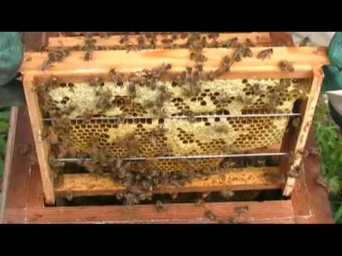 Queen bee of Japanese honeybee in beehive