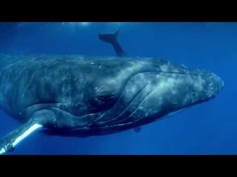 DUIKEN filmavond: Omniversum - Giant Whales