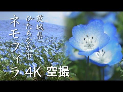 【絶景茨城】ネモフィラ[4K]茨城県ひたちなか市(国営ひたち海浜公園/Hitachi Seaside Park) VISIT IBARAKI, JAPAN