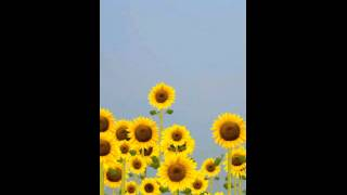 ♥ Sunflowers Free YouTube video