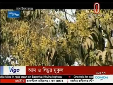 Rajshahi likely to see bumper harvests of mango, litchi (22-02-2018)