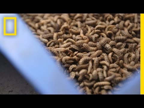 Gross or Brilliant? Using Bugs to Feed the Animals We Eat | National Geographic