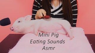 세계최초 미니피그의 먹방 리얼이팅사운드(mini pig's eating sounds)[재미로보는 ASMR]꿀꿀선아,먹방,eating shows,pet,real sounds