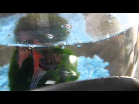 Betta Fish Memo Inflating its gills