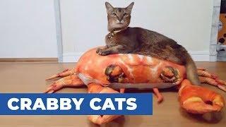 後ろ足のない猫のリルちゃん…斬新な移動方法を手に入れる(動画)