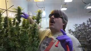 White Domina Cannabis Plant by Urban Grower