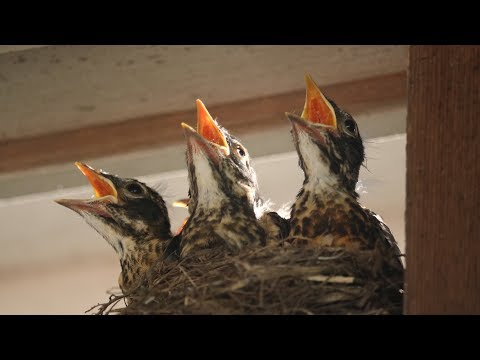 Baby Robins: Feeding to First Flight & Leaving Nest (HD)
