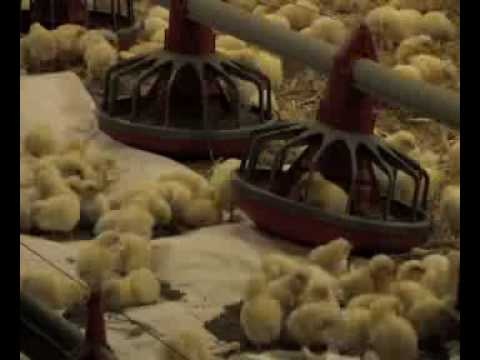 broiler - An educational video about The Broiler Industry in poultry production. These Videos are all Available in full resolution on DVD. Please order from: www.poult...