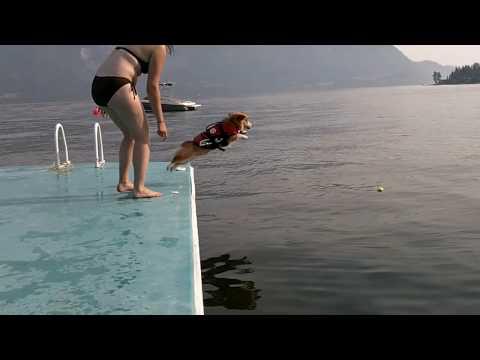 在主人的激勵下 怕水的柯基犬竟然奮力一跳!