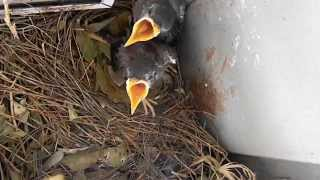 Video The Family of the Indian Mynas MP3, 3GP, MP4, WEBM, AVI, FLV September 2018